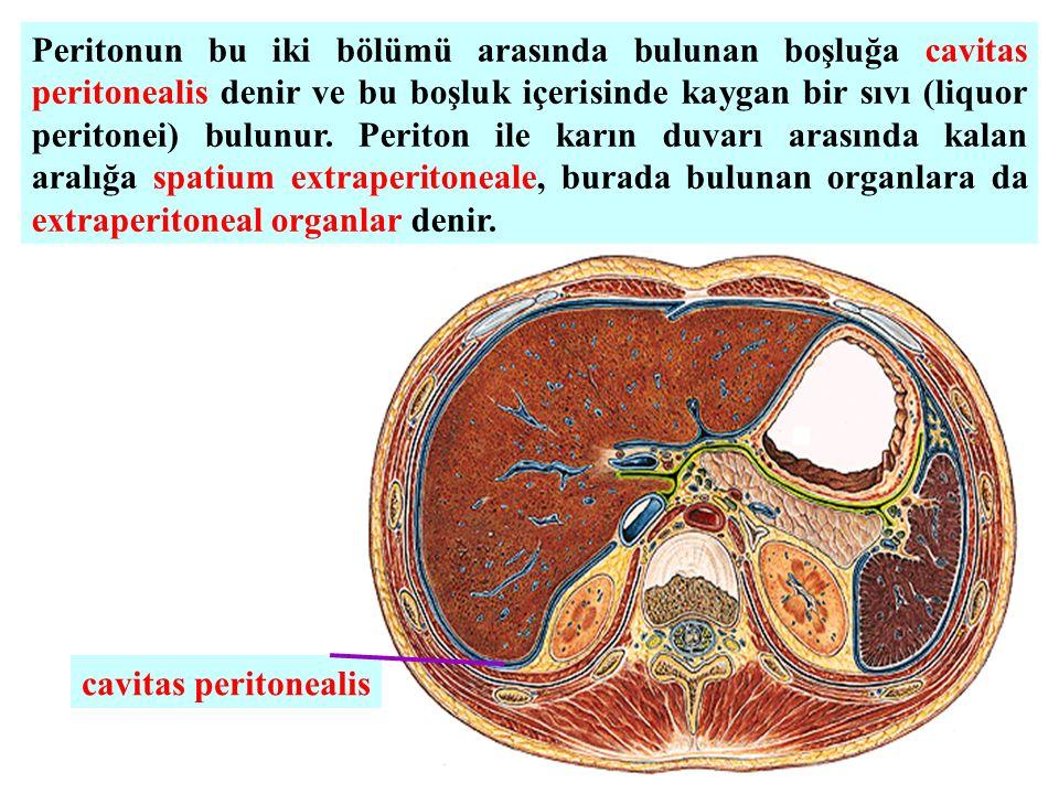 Peritonun bu iki bölümü arasında bulunan boşluğa cavitas peritonealis denir ve bu boşluk içerisinde kaygan bir sıvı (liquor peritonei) bulunur.