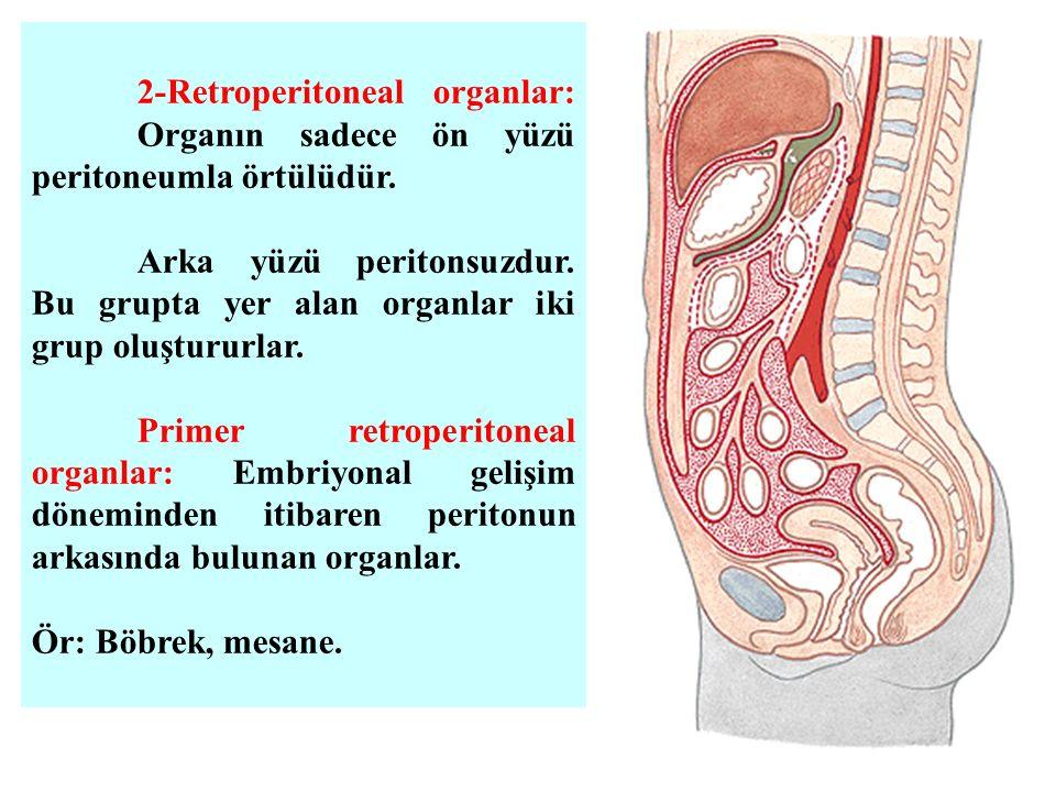 2-Retroperitoneal organlar: Organın sadece ön yüzü peritoneumla örtülüdür. Arka yüzü peritonsuzdur. Bu grupta yer alan organlar iki grup oluştururlar.