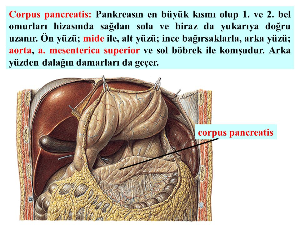 Corpus pancreatis: Pankreasın en büyük kısmı olup 1.