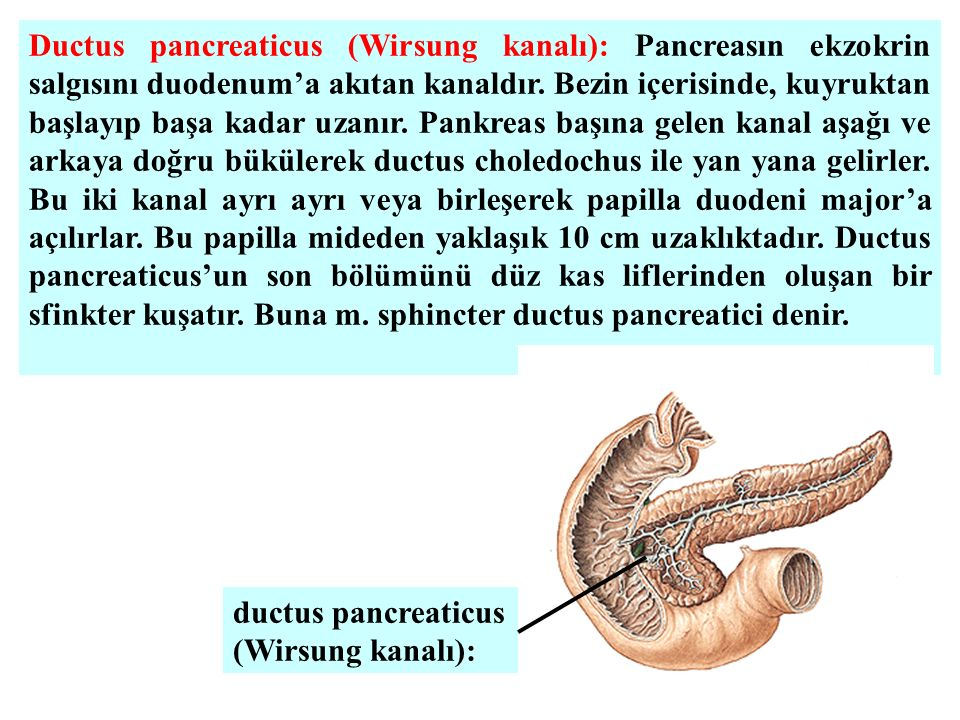 Ductus pancreaticus (Wirsung kanalı): Pancreasın ekzokrin salgısını duodenum'a akıtan kanaldır.