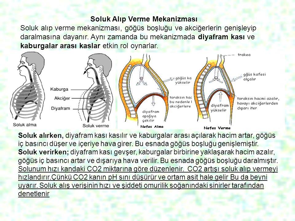 Soluk Alıp Verme Mekanizması Soluk alıp verme mekanizması, göğüs boşluğu ve akciğerlerin genişleyip daralmasına dayanır. Aynı zamanda bu mekanizmada d