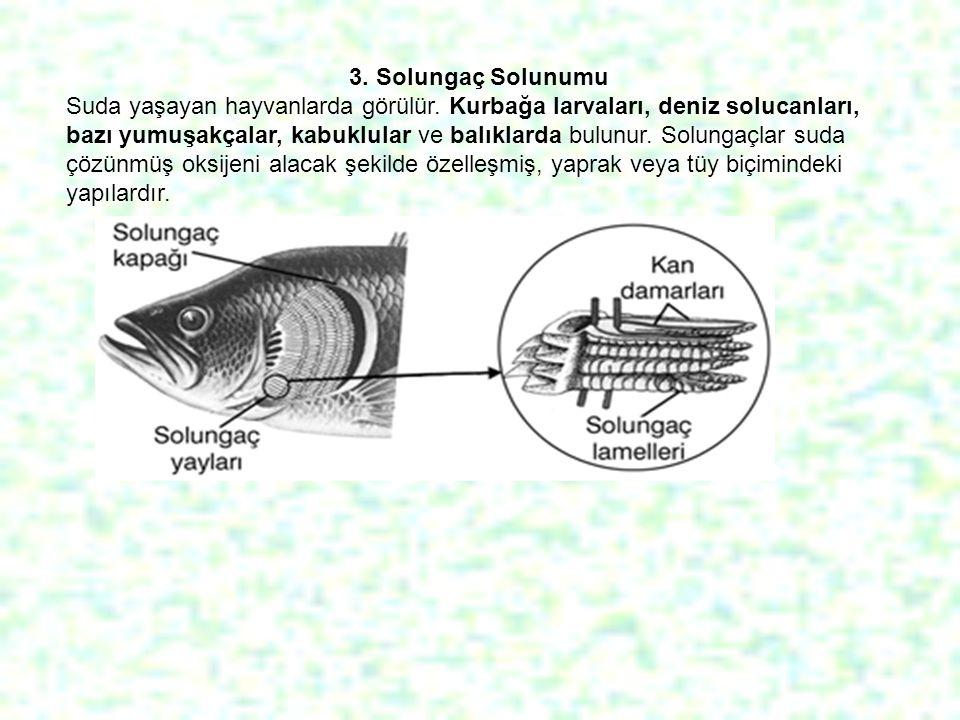 3. Solungaç Solunumu Suda yaşayan hayvanlarda görülür. Kurbağa larvaları, deniz solucanları, bazı yumuşakçalar, kabuklular ve balıklarda bulunur. Solu