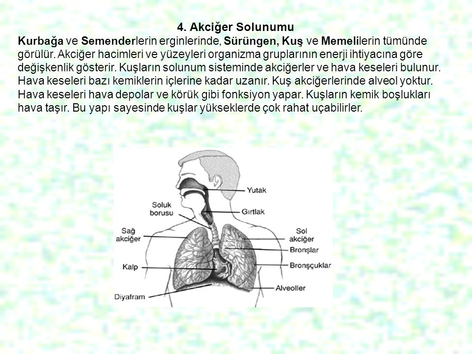 4. Akciğer Solunumu Kurbağa ve Semenderlerin erginlerinde, Sürüngen, Kuş ve Memelilerin tümünde görülür. Akciğer hacimleri ve yüzeyleri organizma grup