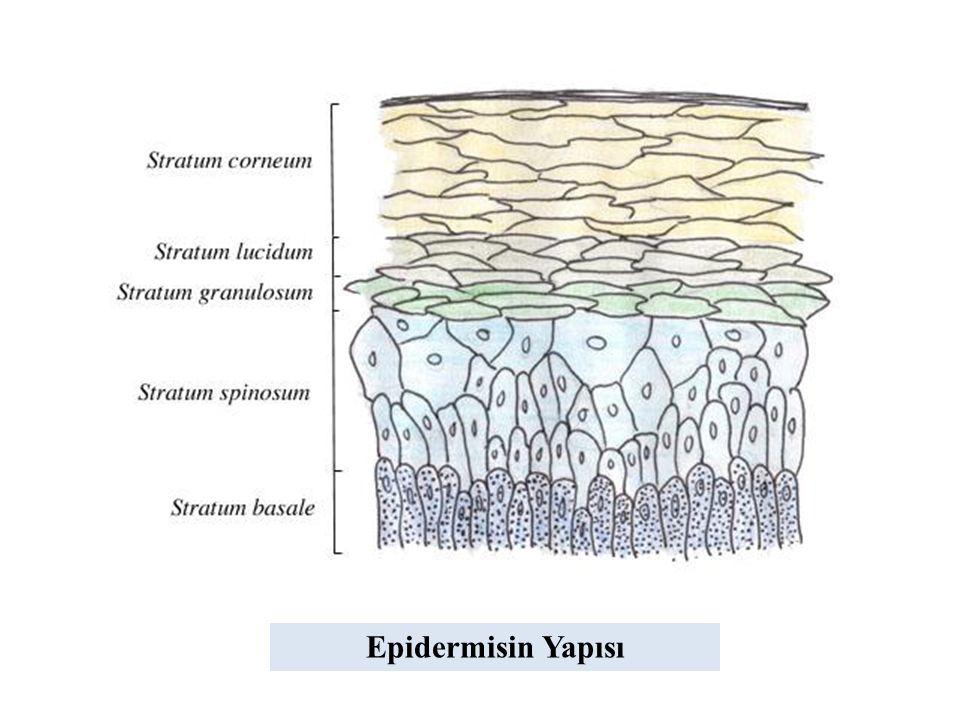 Epidermisin Yapısı