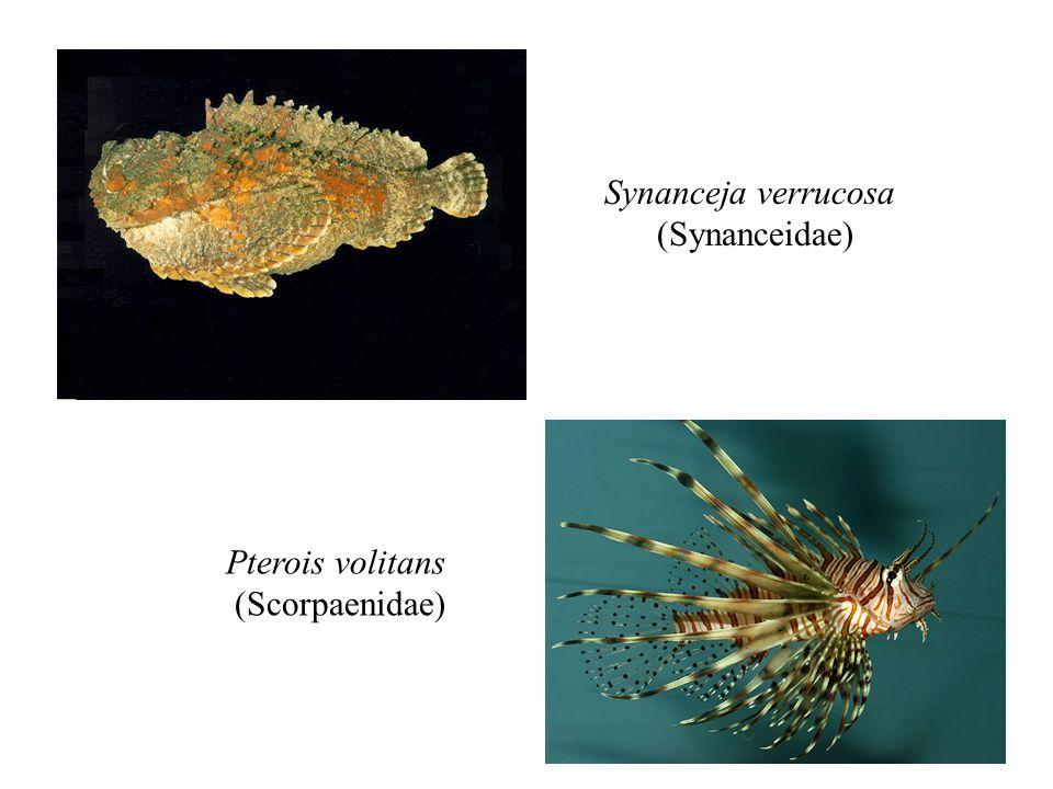 Synanceja verrucosa (Synanceidae) Pterois volitans (Scorpaenidae)