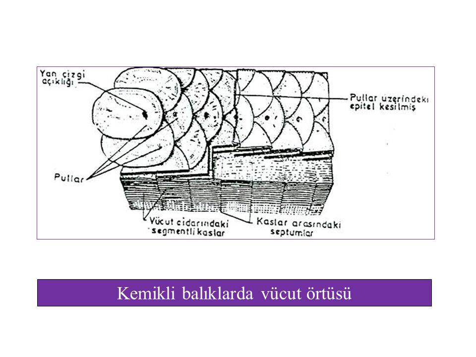 Kemikli balıklarda vücut örtüsü