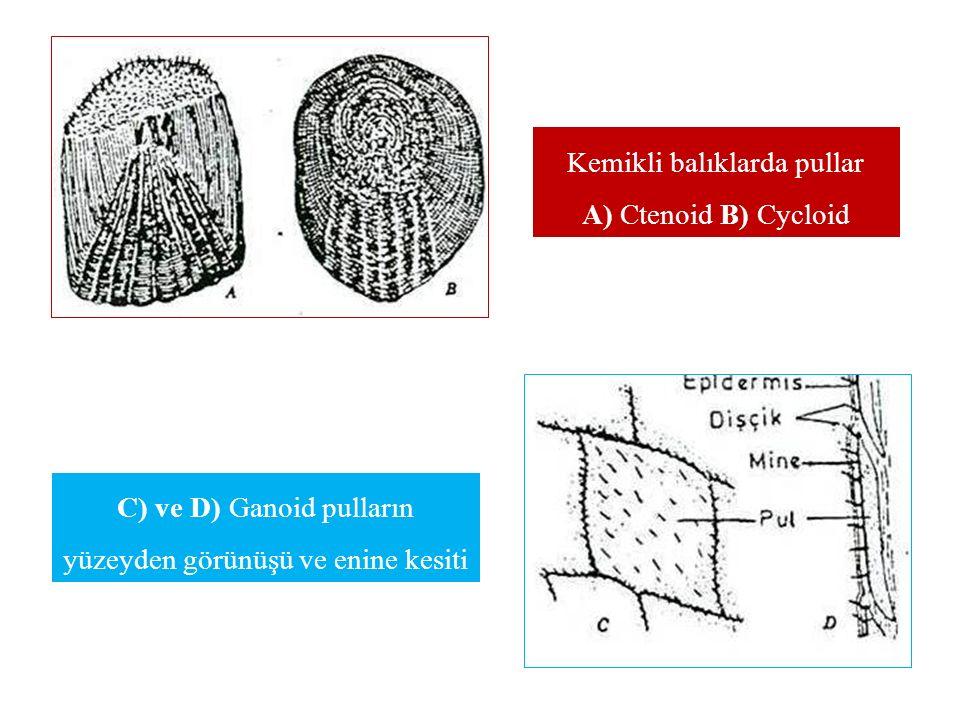 C) ve D) Ganoid pulların yüzeyden görünüşü ve enine kesiti Kemikli balıklarda pullar A) Ctenoid B) Cycloid