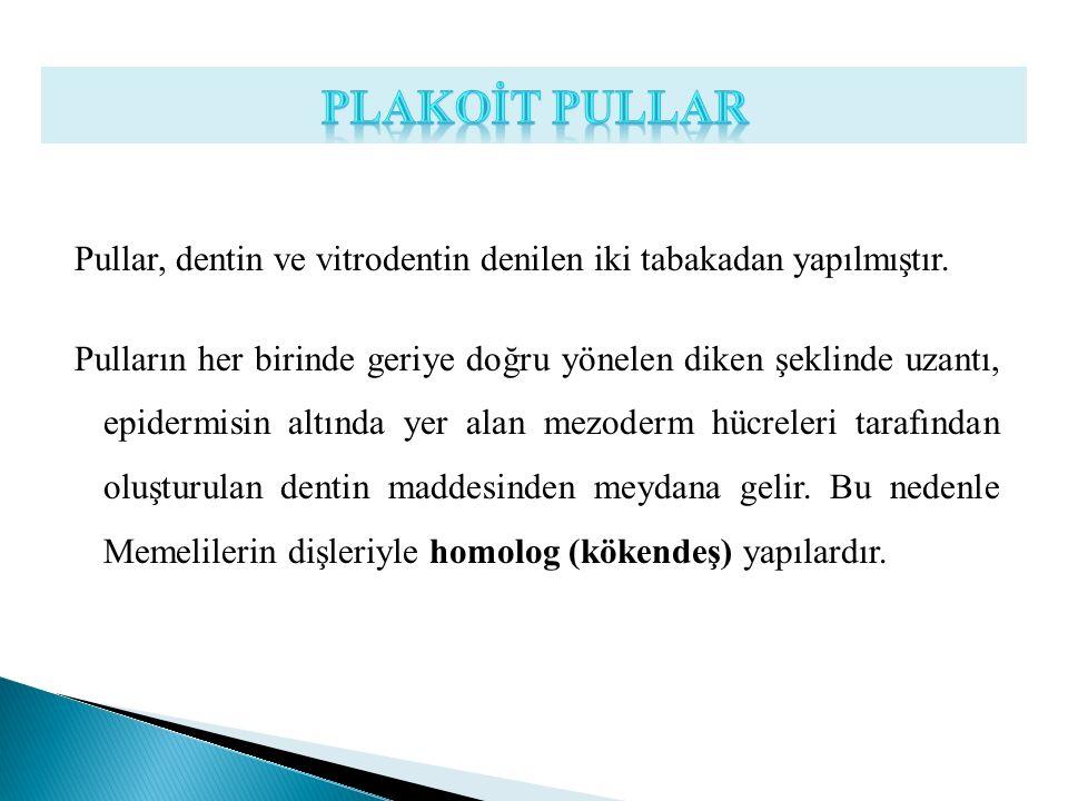 Pullar, dentin ve vitrodentin denilen iki tabakadan yapılmıştır. Pulların her birinde geriye doğru yönelen diken şeklinde uzantı, epidermisin altında