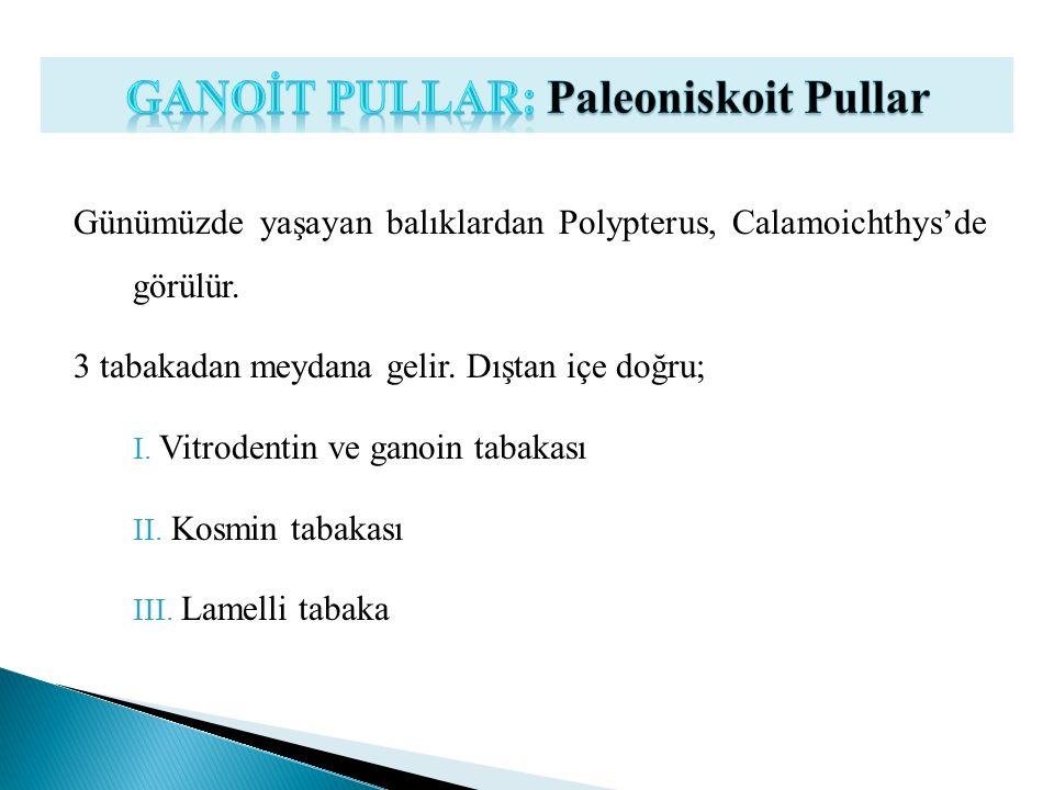 Günümüzde yaşayan balıklardan Polypterus, Calamoichthys'de görülür. 3 tabakadan meydana gelir. Dıştan içe doğru; I. Vitrodentin ve ganoin tabakası II.