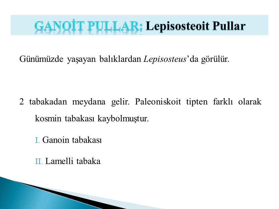 Günümüzde yaşayan balıklardan Lepisosteus'da görülür. 2 tabakadan meydana gelir. Paleoniskoit tipten farklı olarak kosmin tabakası kaybolmuştur. I. Ga