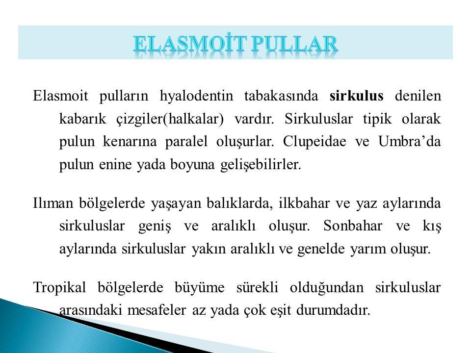 Elasmoit pulların hyalodentin tabakasında sirkulus denilen kabarık çizgiler(halkalar) vardır. Sirkuluslar tipik olarak pulun kenarına paralel oluşurla