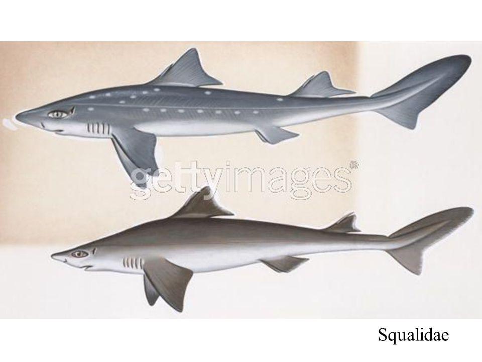 Squalidae