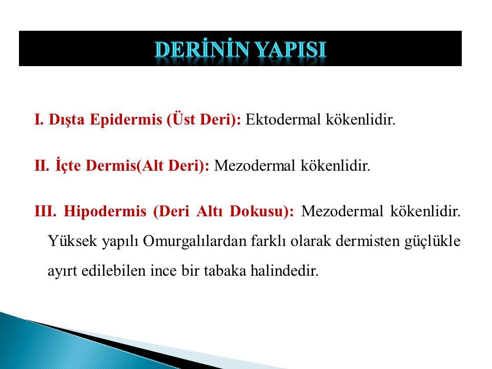 I. Dışta Epidermis (Üst Deri): Ektodermal kökenlidir. II. İçte Dermis(Alt Deri): Mezodermal kökenlidir. III. Hipodermis (Deri Altı Dokusu): Mezodermal