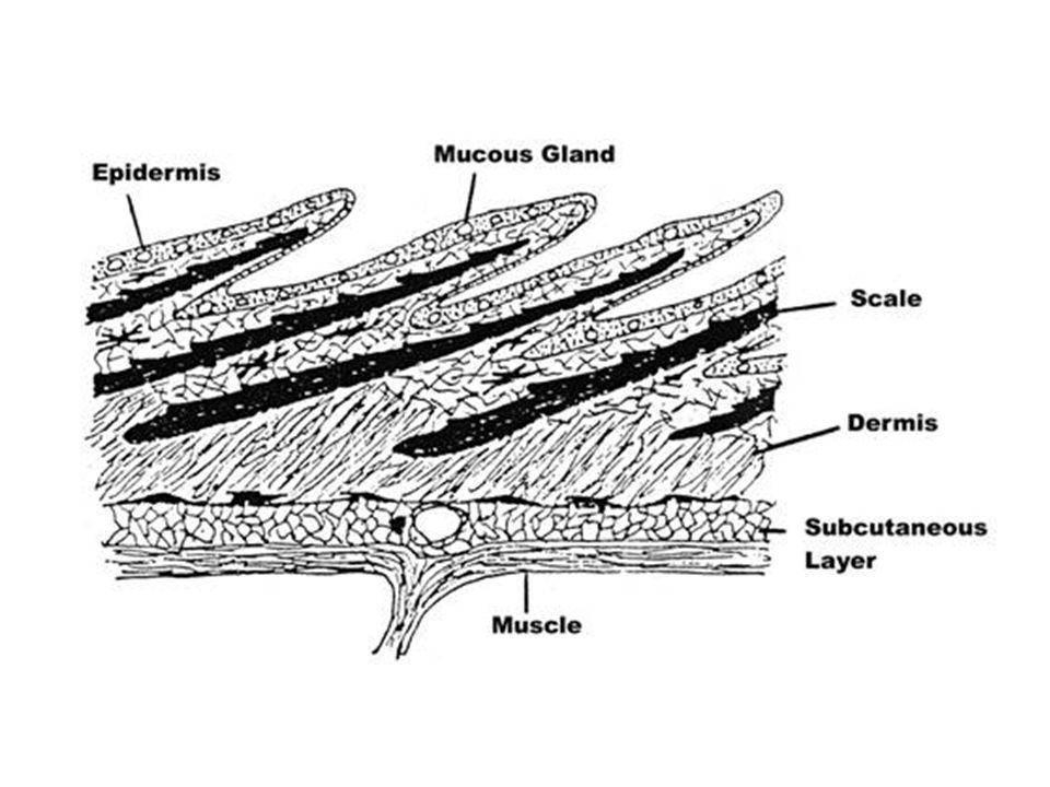 Pullar, ilk olarak balığın gövdesiyle kuyruğunun birleştiği yerde oluşmaya başlayarak, yanal çizgi boyunca gelişir.