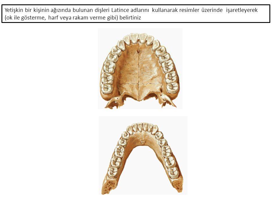Yetişkin bir kişinin ağızında bulunan dişleri Latince adlarını kullanarak resimler üzerinde işaretleyerek (ok ile gösterme, harf veya rakam verme gibi