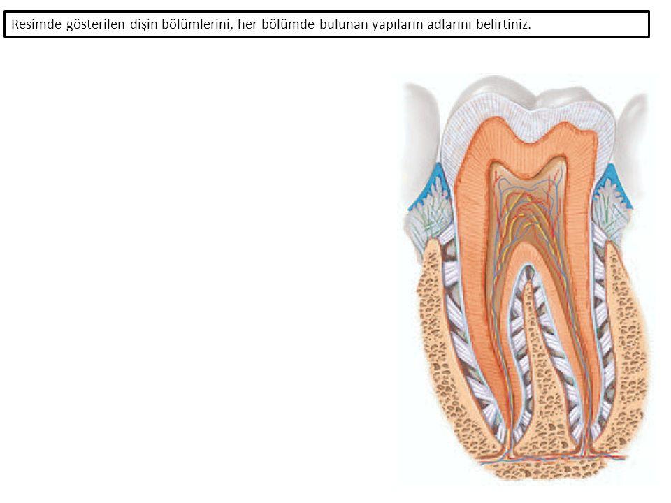 Resimde gösterilen dişin bölümlerini, her bölümde bulunan yapıların adlarını belirtiniz.