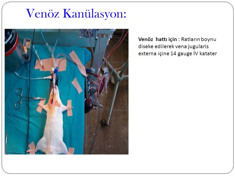 Venöz Kanülasyon: Venöz hattı için : Ratların boynu diseke edilerek vena jugularis externa içine 14 gauge İV katater