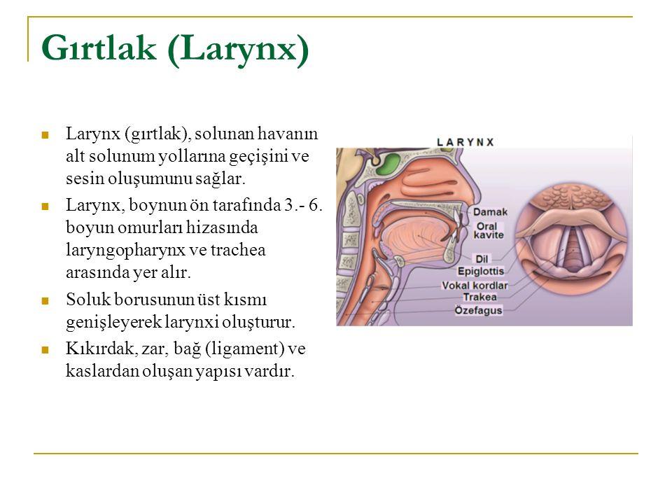 Gırtlak (Larynx) Larynx (gırtlak), solunan havanın alt solunum yollarına geçişini ve sesin oluşumunu sağlar. Larynx, boynun ön tarafında 3.- 6. boyun