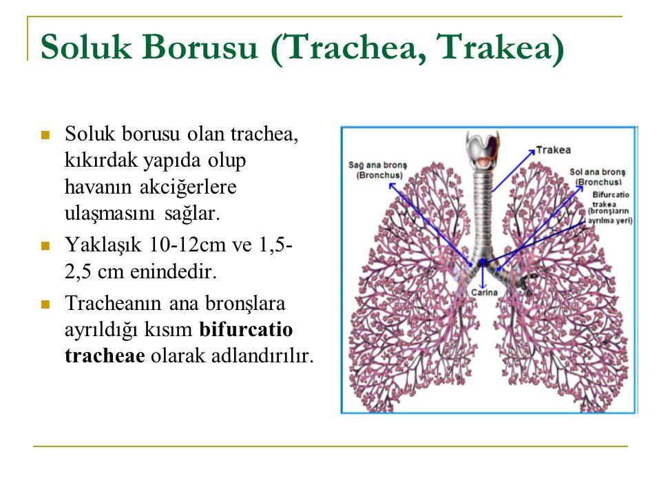 Soluk Borusu (Trachea, Trakea) Soluk borusu olan trachea, kıkırdak yapıda olup havanın akciğerlere ulaşmasını sağlar. Yaklaşık 10-12cm ve 1,5- 2,5 cm