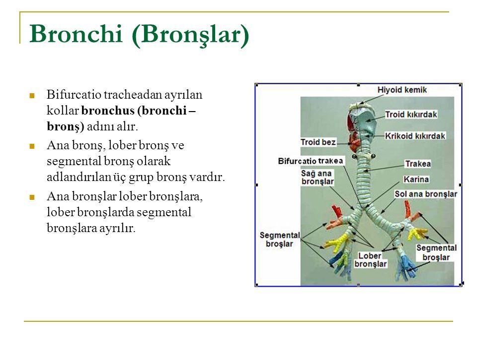 Bronchi (Bronşlar) Bifurcatio tracheadan ayrılan kollar bronchus (bronchi – bronş) adını alır. Ana bronş, lober bronş ve segmental bronş olarak adland