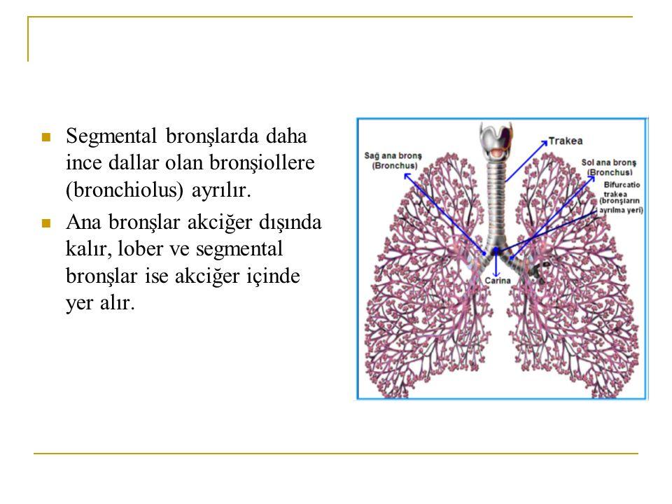 Segmental bronşlarda daha ince dallar olan bronşiollere (bronchiolus) ayrılır. Ana bronşlar akciğer dışında kalır, lober ve segmental bronşlar ise akc
