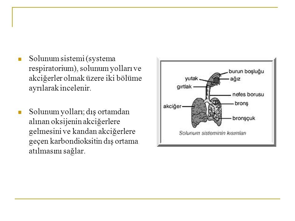 Solunum sistemi (systema respiratorium), solunum yolları ve akciğerler olmak üzere iki bölüme ayrılarak incelenir. Solunum yolları; dış ortamdan alına