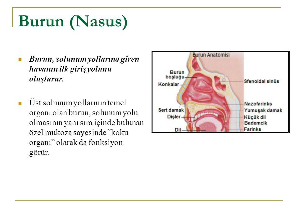 Burun (Nasus) Burun, solunum yollarına giren havanın ilk giriş yolunu oluşturur. Üst solunum yollarının temel organı olan burun, solunum yolu olmasını