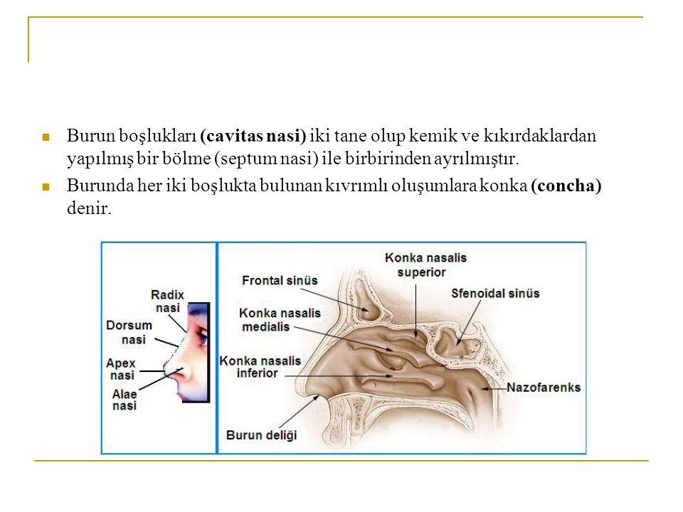 Burundaki konkalar Concha nasalis süperior, concha nasalis media ve concha nasalis inferiordur.