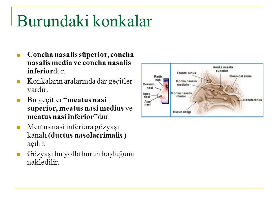 Burundaki konkalar Concha nasalis süperior, concha nasalis media ve concha nasalis inferiordur. Konkaların aralarında dar geçitler vardır. Bu geçitler