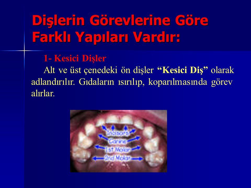 """Dişlerin Görevlerine Göre Farklı Yapıları Vardır: 1- Kesici Dişler Alt ve üst çenedeki ön dişler """"Kesici Diş"""" olarak adlandırılır. Gıdaların ısırılıp,"""