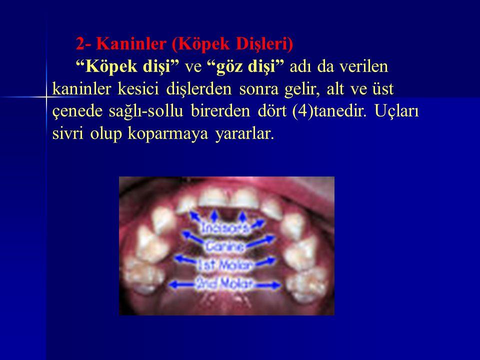 """2- Kaninler (Köpek Dişleri) """"Köpek dişi"""" ve """"göz dişi"""" adı da verilen kaninler kesici dişlerden sonra gelir, alt ve üst çenede sağlı-sollu birerden dö"""