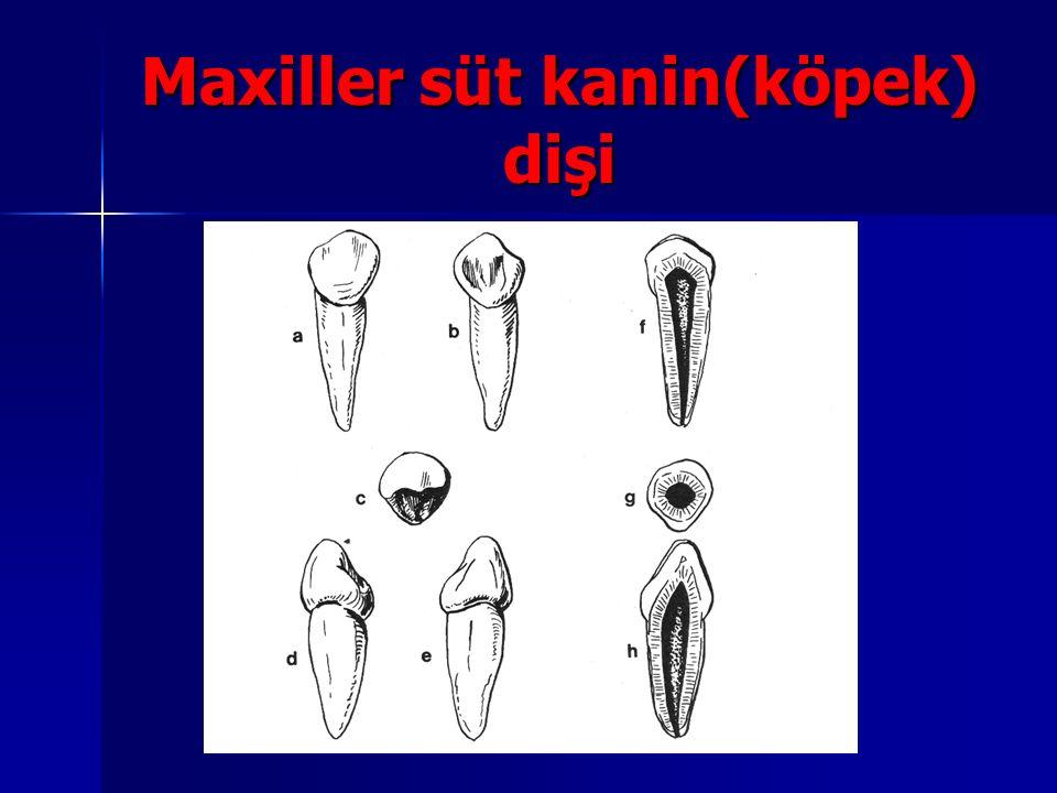 Maxiller süt kanin(köpek) dişi