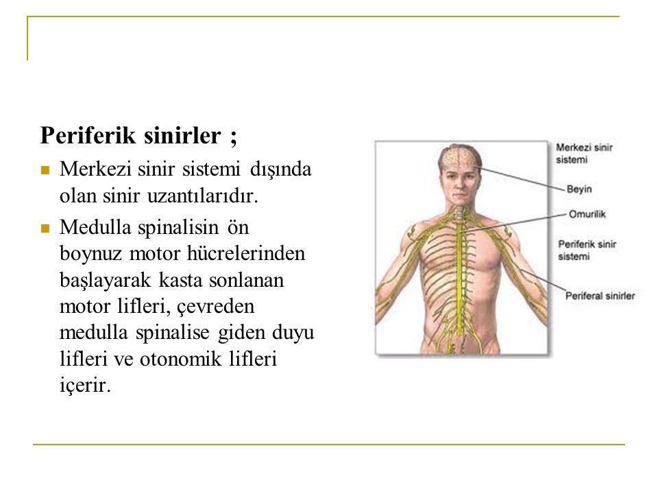 Periferik sinirler ; Merkezi sinir sistemi dışında olan sinir uzantılarıdır. Medulla spinalisin ön boynuz motor hücrelerinden başlayarak kasta sonlana
