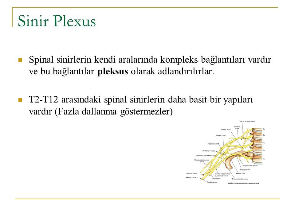 Sinir Plexus Spinal sinirlerin kendi aralarında kompleks bağlantıları vardır ve bu bağlantılar pleksus olarak adlandırılırlar. T2-T12 arasındaki spina
