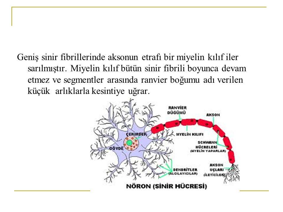 Geniş sinir fibrillerinde aksonun etrafı bir miyelin kılıf iler sarılmıştır. Miyelin kılıf bütün sinir fibrili boyunca devam etmez ve segmentler arası