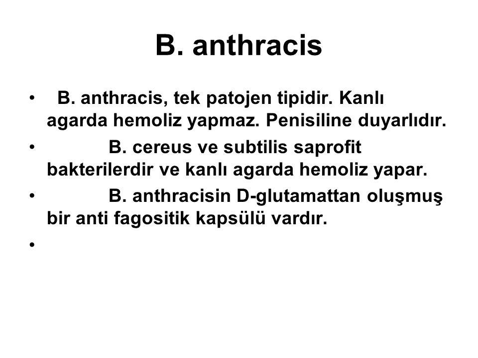 B. anthracis B. anthracis, tek patojen tipidir. Kanlı agarda hemoliz yapmaz. Penisiline duyarlıdır. B. cereus ve subtilis saprofit bakterilerdir ve ka
