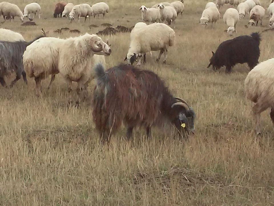 Koyunlarda verimliliği ve geliri artırmanın iki ana yolu vardır.