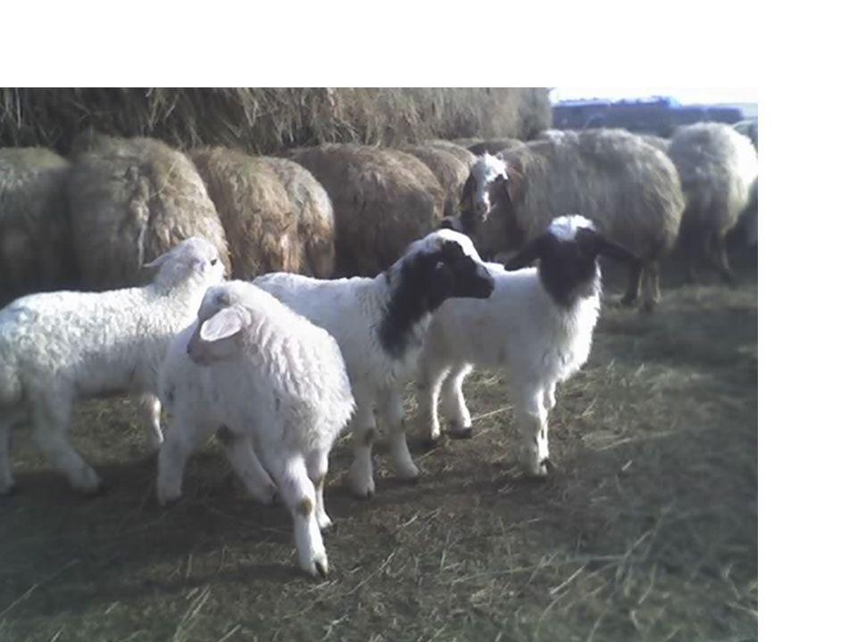 Kuzulamadan Sonraki İlk Aylar İçinde Ek Yemleme Kuzulamadan sonraki ilk aylarda elden yemleme ile; Koyunlar daha fazla süt verirler Sütlü anaları emen kuzular daha hızlı gelişir Koyunlar daha uzun süre sağılır