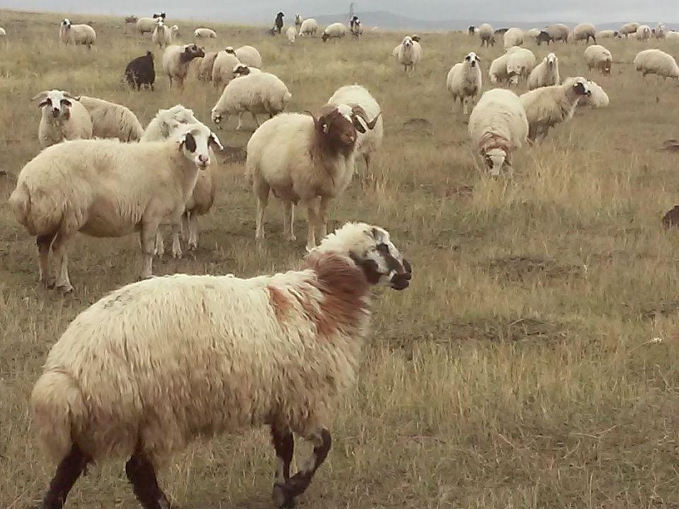 Damızlık Koyunların Seçiminde Nelere Dikkat Etmeliyiz.