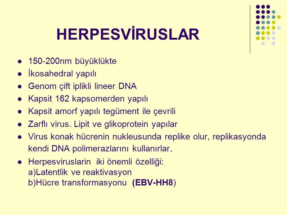 HERPESVİRUSLAR 150-200nm büyüklükte İkosahedral yapılı Genom çift iplikli lineer DNA Kapsit 162 kapsomerden yapılı Kapsit amorf yapılı tegüment ile çe