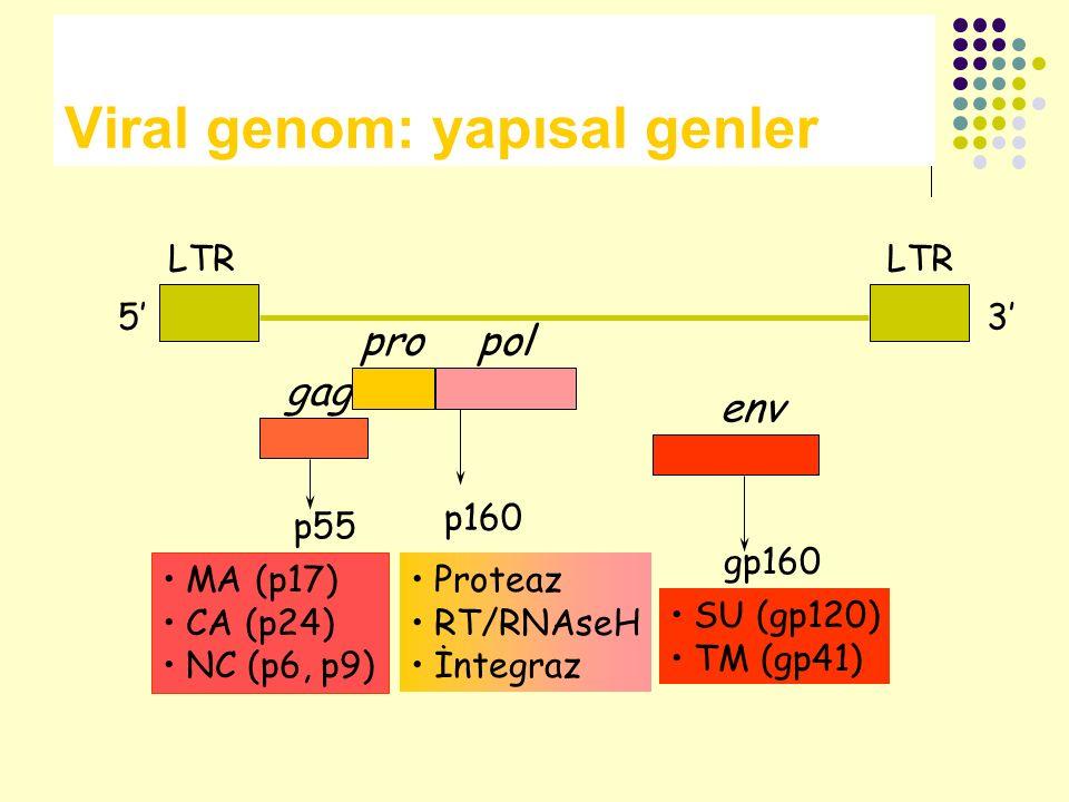 Viral genom: yapısal genler gag propol env LTR 5'3' p55 MA (p17) CA (p24) NC (p6, p9) p160 Proteaz RT/RNAseH İntegraz SU (gp120) TM (gp41) gp160