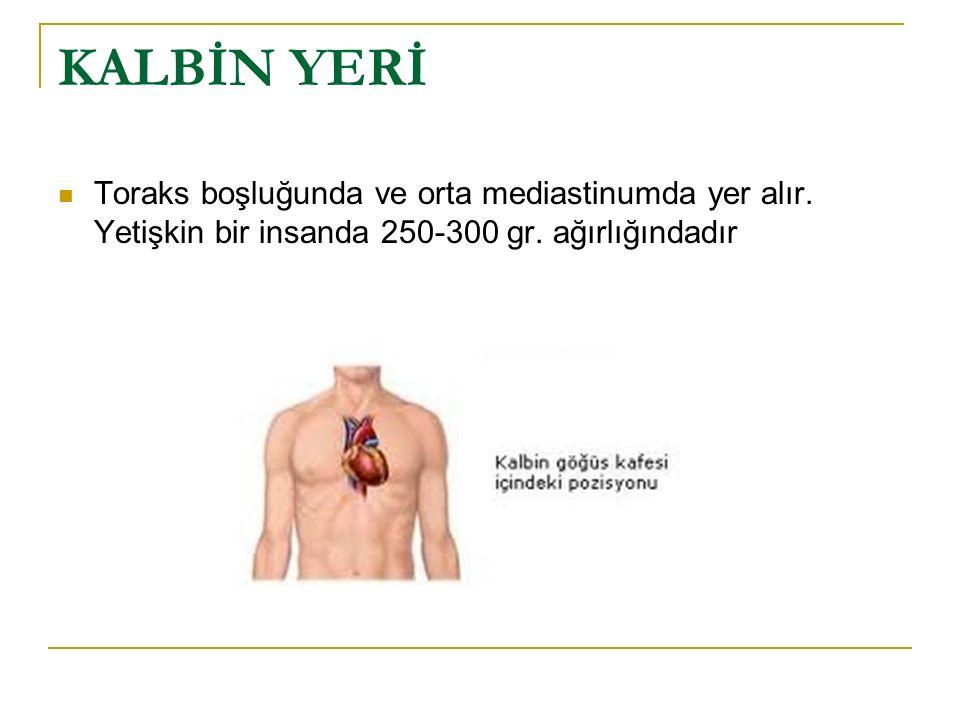 KALBİN KOMŞULUKLARI Sağ ve solda: akciğerin mediastinal yüzleri Altta: diaphragma Önde: sternum,kıkırdak kostalar,thymus artıklar ve kısmen akciğerler Arkada: oesophagus