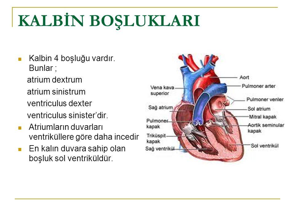 KALP FİZYOLOJİSİ Kalp, gerçekte iki ayrı pompadan oluşur: akciğerlere kan pompalayan sağ kalp ve çevre organlara kan pompalayan sol kalp.