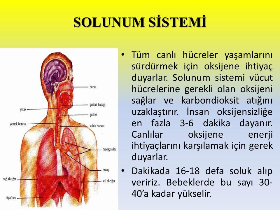 SOLUNUM SİSTEMİ Tüm canlı hücreler yaşamlarını sürdürmek için oksijene ihtiyaç duyarlar. Solunum sistemi vücut hücrelerine gerekli olan oksijeni sağla