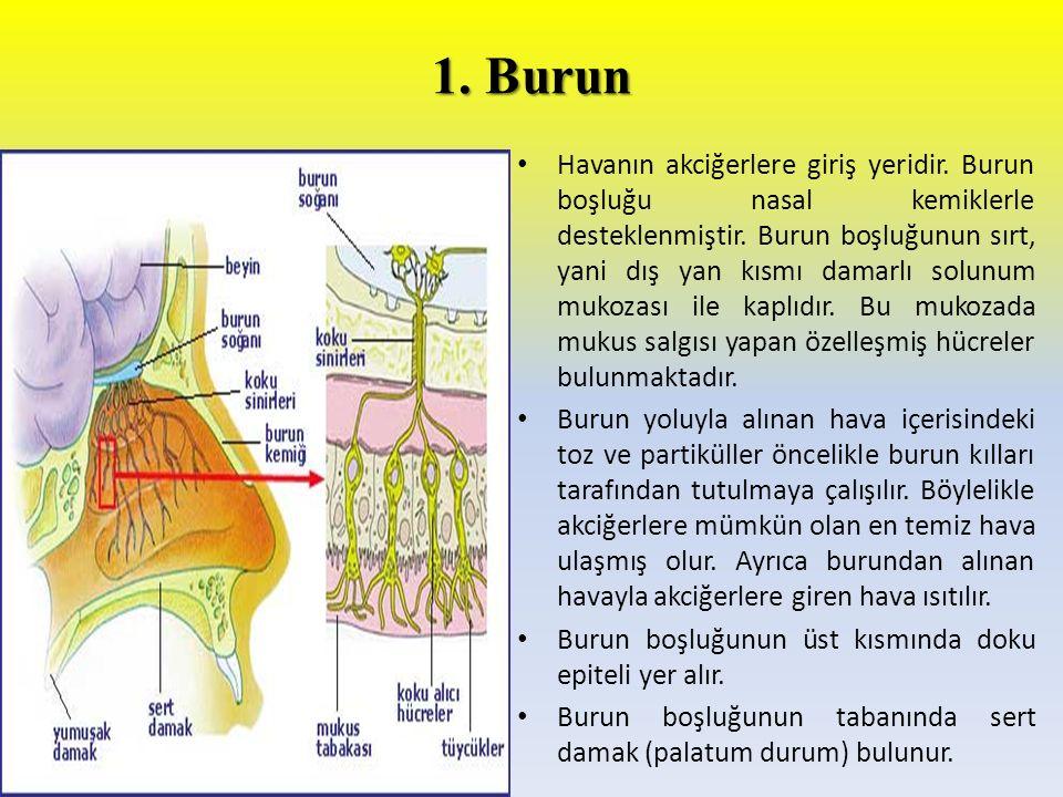 1. Burun Havanın akciğerlere giriş yeridir. Burun boşluğu nasal kemiklerle desteklenmiştir. Burun boşluğunun sırt, yani dış yan kısmı damarlı solunum