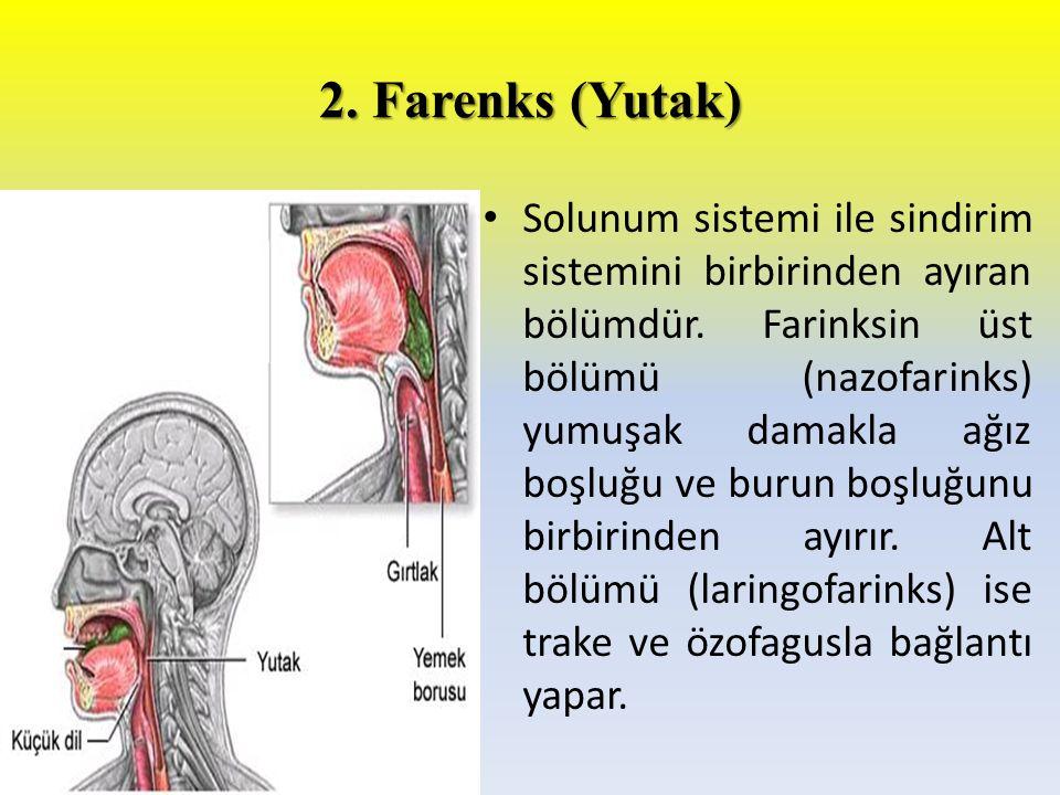2. Farenks (Yutak) Solunum sistemi ile sindirim sistemini birbirinden ayıran bölümdür. Farinksin üst bölümü (nazofarinks) yumuşak damakla ağız boşluğu