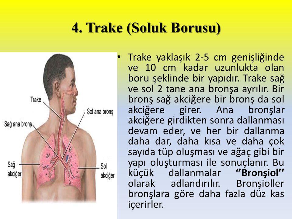 4. Trake (Soluk Borusu) Trake yaklaşık 2-5 cm genişliğinde ve 10 cm kadar uzunlukta olan boru şeklinde bir yapıdır. Trake sağ ve sol 2 tane ana bronşa