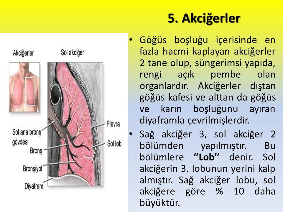 5. Akciğerler Göğüs boşluğu içerisinde en fazla hacmi kaplayan akciğerler 2 tane olup, süngerimsi yapıda, rengi açık pembe olan organlardır. Akciğerle