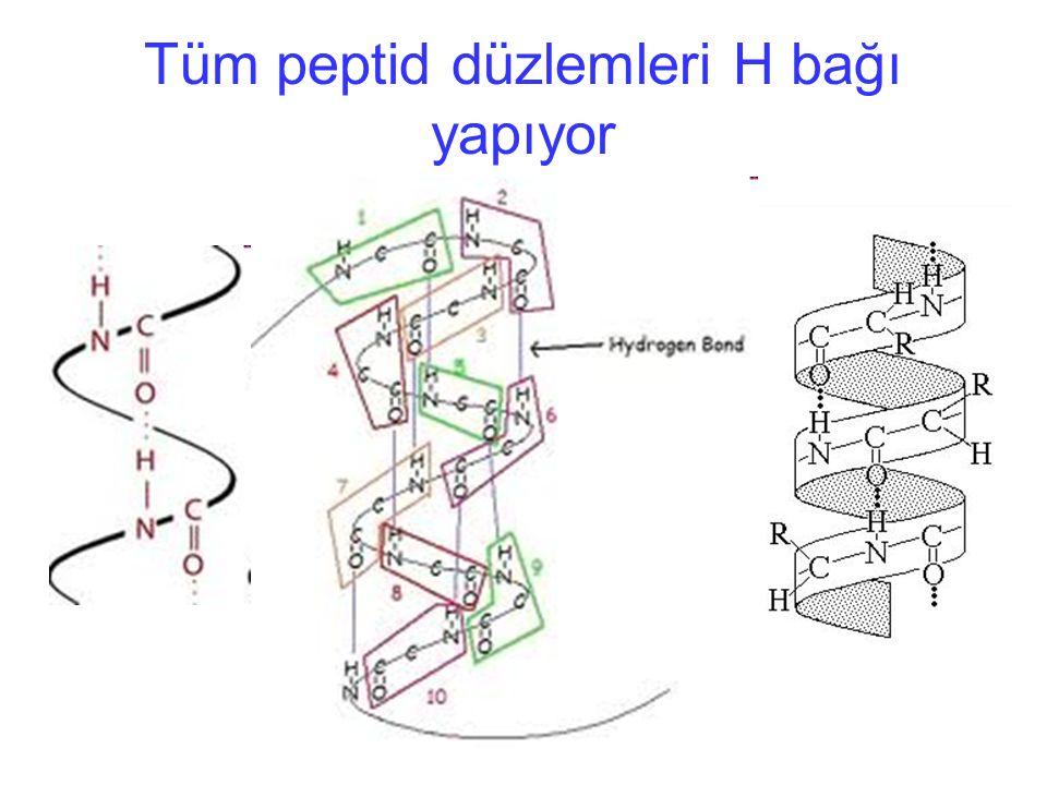Tüm peptid düzlemleri H bağı yapıyor