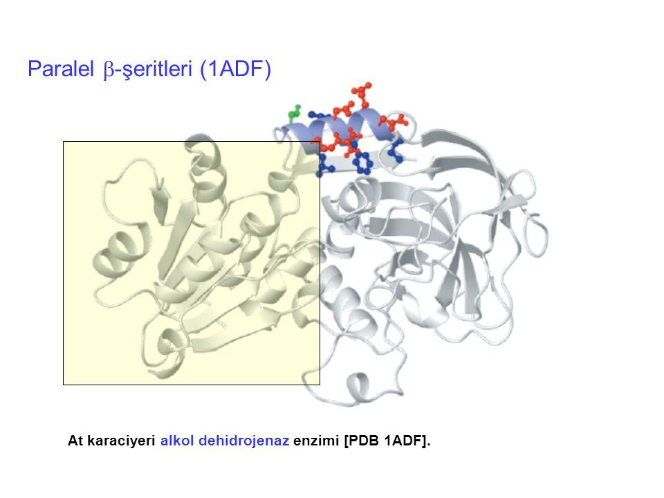 At karaciyeri alkol dehidrojenaz enzimi [PDB 1ADF]. Paralel  -şeritleri (1ADF)